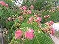 1 flores rosadas texas pink flower tree (3).jpg