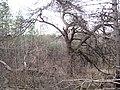 """200-летняя сосна, погибшая от пожара 2007 года в ур.""""Кругляк"""".jpg"""