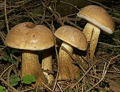 Three stocky brownish mushrooms among twigs on forest floor