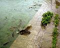 2010.India 678 fishwalking rewalsar.jpg