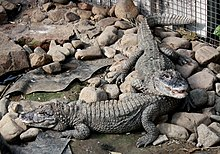 Two Chinese alligators among rocks