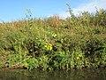 20120930Helianthus tuberosus11.jpg