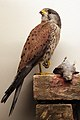 2013-03 Turmfalke Falco tinnunculus anagoria.JPG