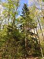 2013-05-06 16 43 10 Red Spruce along the Swamp Trail in Jenny Jump State Forest.jpg