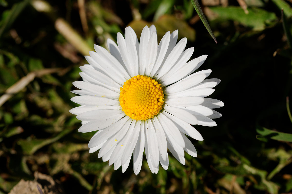 bellis wikipedia