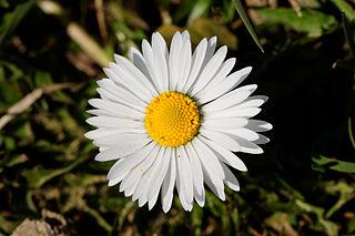 <i>Bellis</i> Genus of flowering plants