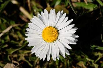 Bellis - Daisy (Bellis perennis)