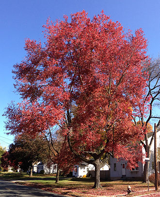 Acer rubrum - Image: 2014 10 30 11 09 40 Red Maple during autumn on Lower Ferry Road in Ewing, New Jersey