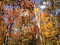 2014-10-30 13 15 34 Trees during autumn in the woodlands along the West Branch Shabakunk Creek in Ewing, New Jersey.JPG