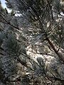 2014-12-18 08 57 23 Rime on pine boughs after freezing fog in Elko, Nevada.JPG