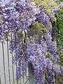 20140420Wisteria floribunda2.jpg