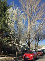 2015-03-27 15 37 06 Callery Pear along Pine Street near 9th Street in Elko, Nevada.JPG