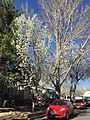 2015-03-27 15 37 06 Callery Pear along Pine Street near 9th Street in Elko, Nevada.JPG