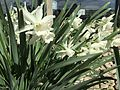 2015-03-31 10 21 54 White daffodils along Idaho Street (Interstate 80 Business) in Elko, Nevada.JPG