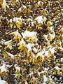 2015-04-08 07 50 30 A wet spring snow on Forsythia blossoms along Idaho Street (Interstate 80 Business) in Elko, Nevada.jpg