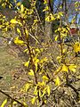 2015-04-12 11 14 22 Forsythia blossoms opening on Terrace Boulevard in Ewing, New Jersey.jpg