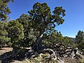 2015-04-27 14 51 26 An older Utah Juniper on the north wall of Maverick Canyon, Nevada.jpg