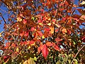 2015-11-08 13 17 31 Crape Myrtle foliage during autumn along Old Ox Road (Virginia Secondary State Route 606) in Sterling, Virginia.jpg