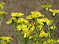 20150508Jacobaea vulgaris1.jpg