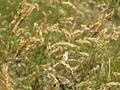 20150705Anthoxanthum odoratum1.jpg