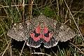 20150829 - 23.53 Rood Weeskind (Catocala nupta) 2.jpg