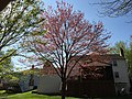 2016-04-15 16 34 53 A Red Maple full of immature seeds during spring along Tyburn Tree Court in the Franklin Farm section of Oak Hill, Fairfax County, Virginia.jpg