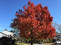 2016-11-15 11 24 24 Red Maple displaying autumn foliage along Tranquility Lane at Tranquility Court in the Franklin Farm section of Oak Hill, Fairfax County, Virginia.jpg