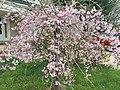 2017-04-03 16 09 25 Weeping Higan Cherry blooming along Ladybank Lane near Ben Nevis Court in the Chantilly Highlands section of Oak Hill, Fairfax County, Virginia.jpg