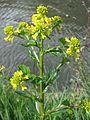 20170418Barbarea vulgaris5.jpg