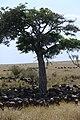 2017 Wildebeest migration Kenya 02.jpg