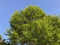 2019-05-06 19 05 55 Pin Oak with young leaves in late spring within Franklin Farm Park in the Franklin Farm section of Oak Hill, Fairfax County, Virginia.jpg