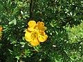 2019-06-07 (107) Dasiphora fruticosa (shrubby cinquefoil) at Bichlhäusl, Tiefgrabenrotte, Frankenfels, Austria.jpg