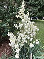 2019-06-12 07 56 27 Yucca flowers along Indale Court in the Franklin Farm section of Oak Hill, Fairfax County, Virginia.jpg