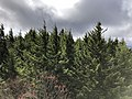 2019-10-27 11 56 21 View southwest across a Red Spruce forest from the observation tower on Spruce Knob in Pendleton County, West Virginia.jpg