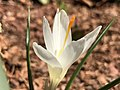 2021-03-21 13 07 39 A white Crocus tommasinianus blooming along Tranquility Court in the Franklin Farm section of Oak Hill, Fairfax County, Virginia.jpg