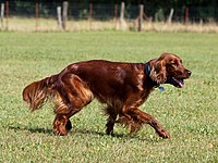 Are Irish Setters Good Family Dogs