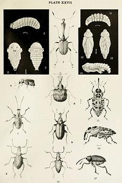 definition of curculionidae