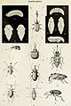 36-Indian-Insect-Life - Harold Maxwell-Lefroy - Curculionidae.jpg