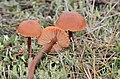 3 lovely coloured examples of the Laccaria laccata (gewone fopzwam) at Hoge Veluwe National Park - panoramio.jpg