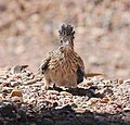 446 - GREATER ROADRUNNER (5-2-2015) 78 circulo montana, patagonia lake ranch estates, scc, az -01 (17451006412).jpg