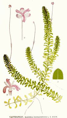 elodea canadensis - more information