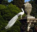 6675 - Pavone bianco all'Isola Bella (Lago Maggiore) - Foto Giovanni Dall'Orto, 7-Apr-2003.jpg