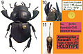 A-review-of-the-primary-types-of-the-Hawaiian-stag-beetle-genus-Apterocyclus-Waterhouse-(Coleoptera-zookeys-433-077-g004.jpg
