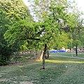 A.ginnala tree.jpg