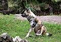 AFRICAN WILD DOG (12974990115).jpg