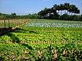 AJM 039 Havana garden.JPG