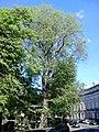 AZ0116. Ulmus x hollandica (curled Leaves). Royal Circus Gardens, Edinburgh. (02).jpg