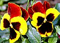 A Hybrid Pansy (Viola tricolour) is attracting attention of visitors in the Mughal Garden, Rashtrapati Bhavan, in New Delhi on February 16, 2005 (1).jpg