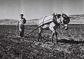 A MEMBER OF KIBBUTZ DEGANIA B PLOUGING THE FIELD. חבר קיבוץ דגניה ב' חורש בשדות הקיבוץ.D835-025.jpg