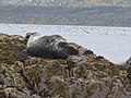 A Seal on the Bush, Farne Islands - geograph.org.uk - 1059923.jpg